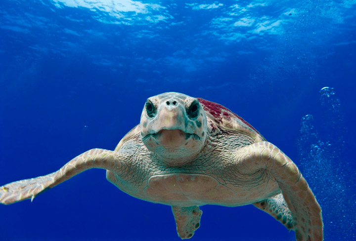 Reintroducción de la tortuga boba en Fuerteventura